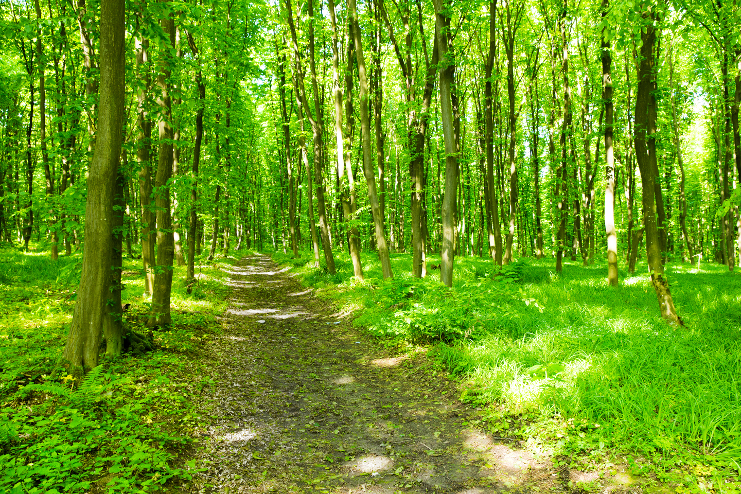 Path through the green forest