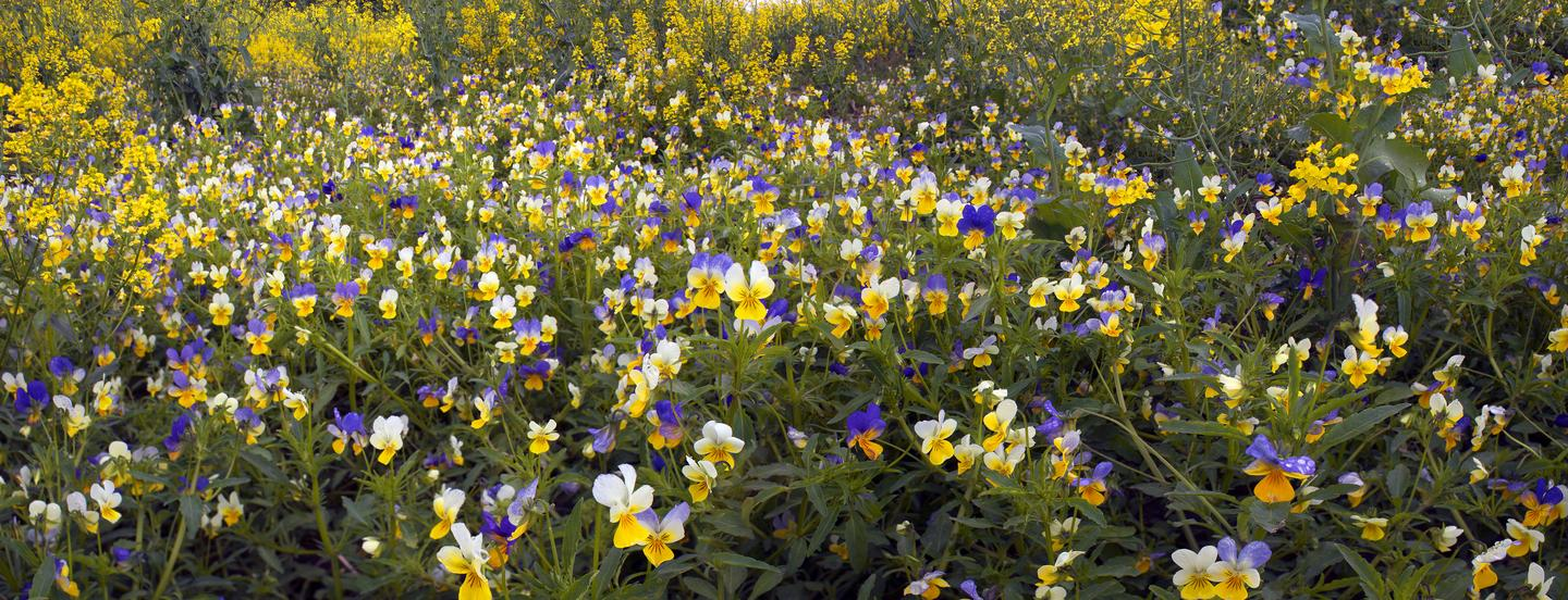 Violets and pansies in a field
